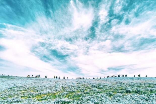 Her yıl Mayıs ayında 4,5 milyon adet mavi çiçek ekiliyor.