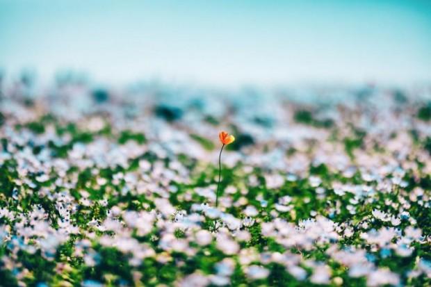 Milyonlarca mavi renkli çiçeğin içinde açmış farklı bir renk çiçek