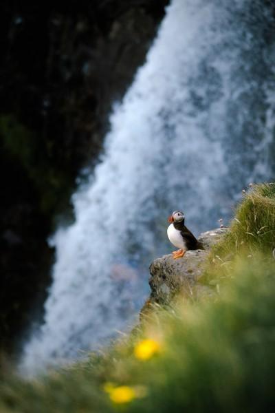 10. Adalar'ın kayalıklarındaki bu sevimli kuşların ismi puffin