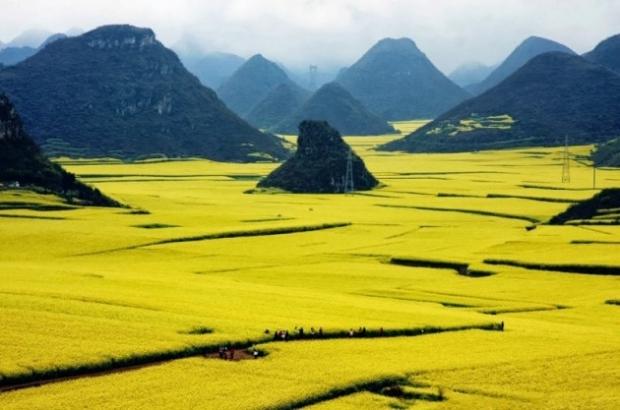 11. Çin'de Kanola çiçek alanları