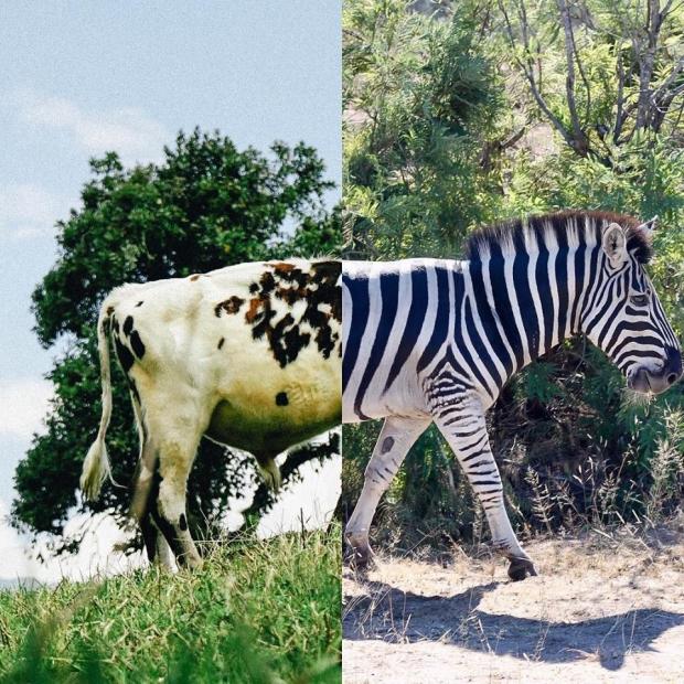 17. Çiftlikteki bir inek, Kolombiya + Safaride bir zebra, Güney Afrika