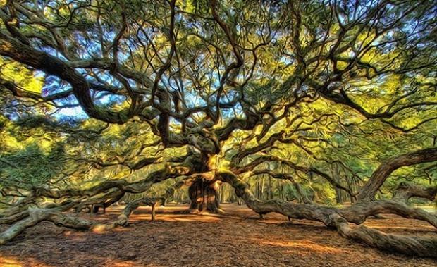 Meşe dediğin böyle olur! Güney Carolina'nın Johns Island bölgesinde yer alan Angel Oak Park'a adını veren Angel adlı meşe ağacını görünce gözlerimize