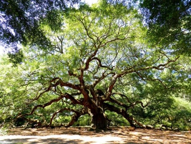 20 metre yüksekliğinde olan bu ağacın gövdesi 8.5 metre genişliğinde.